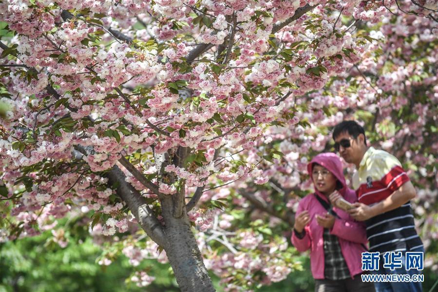 5月10日,游客在大连市旅顺口区二零三樱花园内游玩。 新华社记者 潘昱龙 摄