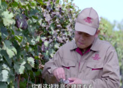 品牌故事︱张裕葡萄基地技术员杨亚超:做好葡萄酒的第一个把关