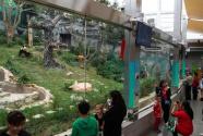 澳门大熊猫馆免费开放庆佳节