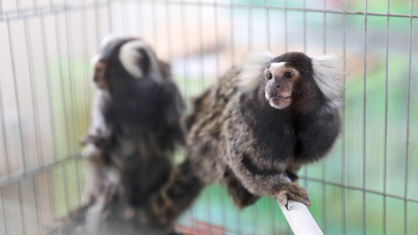 山东口岸引进狨猴