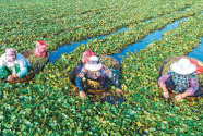 迎丰收 | 江苏省海安市白甸镇千亩菱塘迎来采收旺季