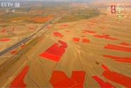 新疆沙湾:辣椒丰收正当时 热辣红椒收获季 红红火火迎丰年
