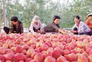 陕西凤翔县早熟苹果走俏一线城市市场