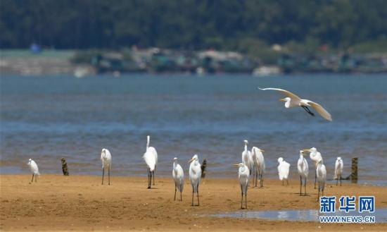 (环境)(3)海南儋州:光村银滩候鸟飞