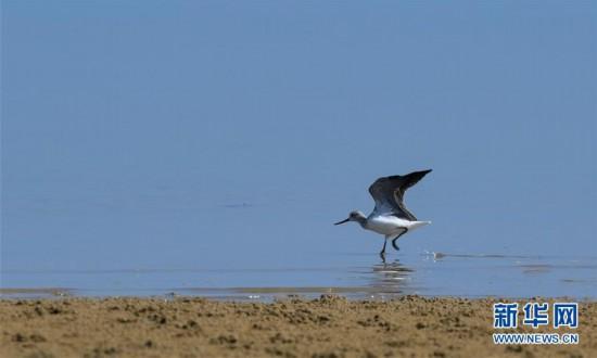 (环境)(4)海南儋州:光村银滩候鸟飞