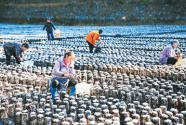 贵州省黔东南苗族侗族自治州两汪乡:食用菌产业助农增收