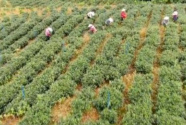 ?广东龙门:发展特色山茶产业 开辟村民脱贫致富路