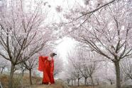 山東鄒平:櫻花山上櫻花開